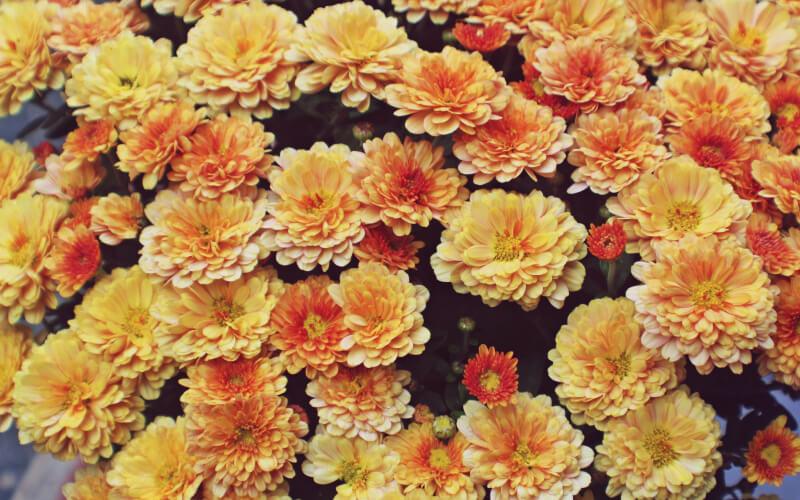Как продлить жизнь срезанным хризантемам